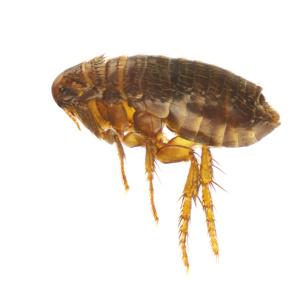 flea pest control wiltshire