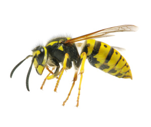 wasp nest removal Wiltshire