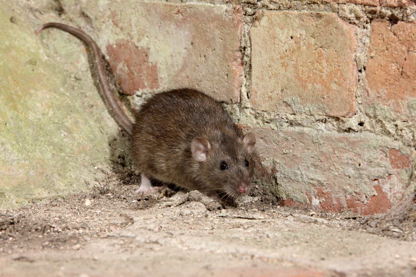 Rats Trowbridge Based Pest Control In Wiltshire Amp Somerset