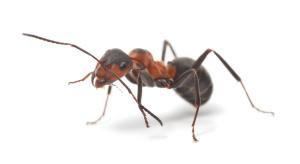 ant control wiltshire