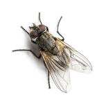 Dirty Common housefly viewed from up high, Musca domestica, isolated on white