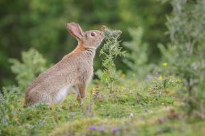 Rabbit control wiltshire