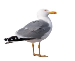 sea gull standing on his feet. seagull .